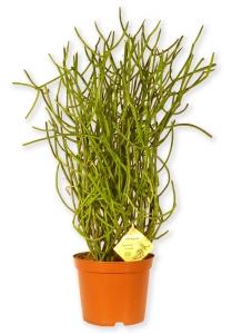 pflegeleichte zimmerpflanze euphorbia tirucalli euphorbie bleistiftpflanze p330 2. Black Bedroom Furniture Sets. Home Design Ideas