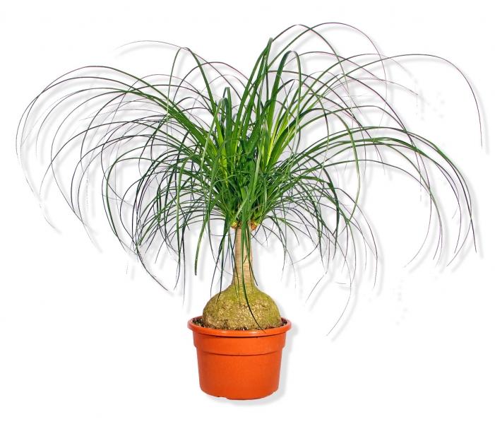 gr npflanze beaucarnea recurvata flaschenbaum elefantenfu gro p250 blumenversand. Black Bedroom Furniture Sets. Home Design Ideas