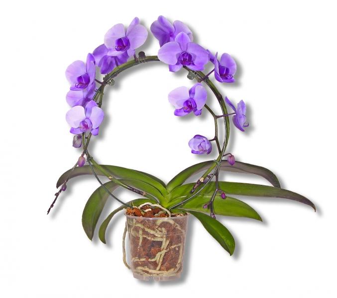 blau violett gef rbte phalaenopsis orchidee blauer bogen 00101 2 blumenversand pflanzen. Black Bedroom Furniture Sets. Home Design Ideas