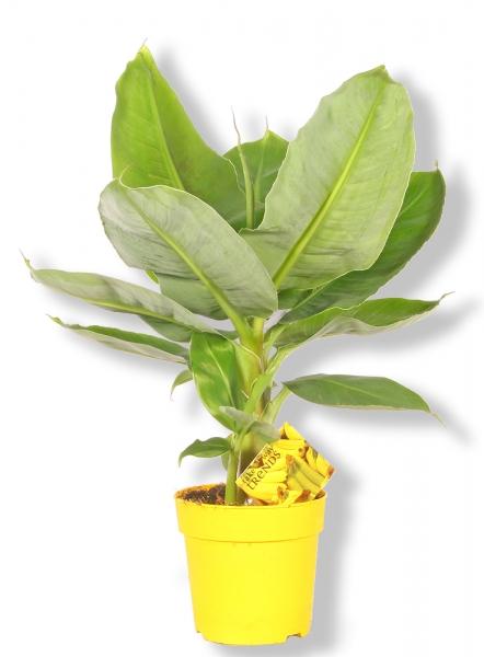 topfpflanze der besonderen art banane musa tropicana p327. Black Bedroom Furniture Sets. Home Design Ideas