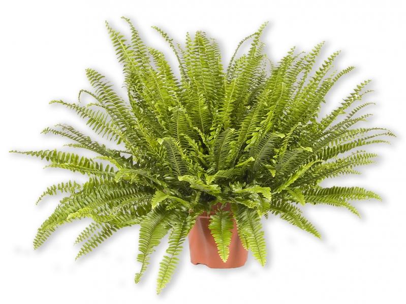 zimmerpflanze nephrolepis farn schwertfarn p426. Black Bedroom Furniture Sets. Home Design Ideas