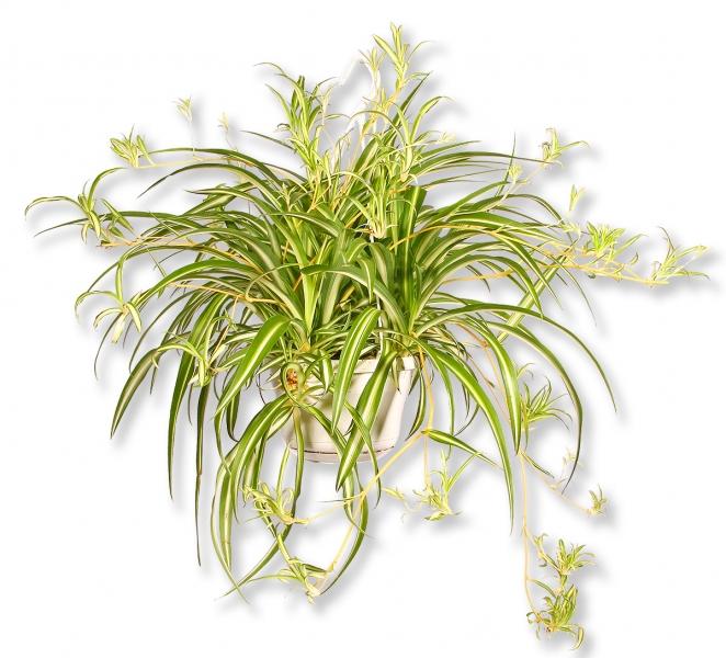 zimmerpflanze chlorophytum gr nlilie mutterpflanze mit ablegern p430 blumenversand pflanzen. Black Bedroom Furniture Sets. Home Design Ideas