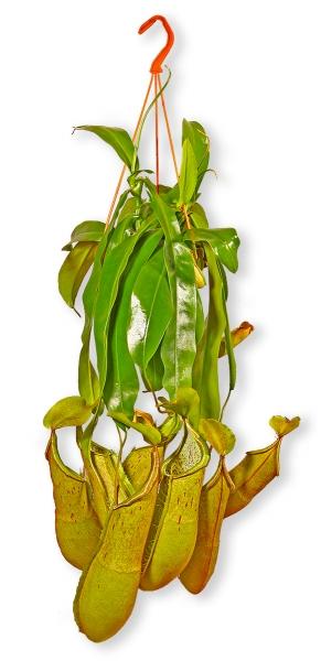 fleischfressende pflanze nepenthes louisa fleischfressende kannenpflanze p431 blumenversand. Black Bedroom Furniture Sets. Home Design Ideas