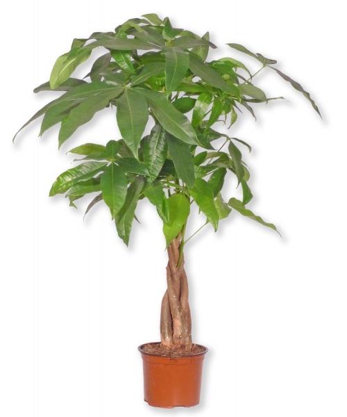 Topfpflanze pachira aquatica gl ckskastanie p371 2 for Shop zimmerpflanzen