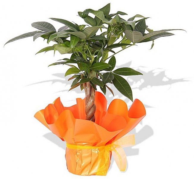 topfpflanze pachira aquatica p54 blumenversand. Black Bedroom Furniture Sets. Home Design Ideas