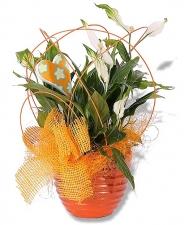 Topfpflanzen Verschenken topfblumen topfpflanzen blumenversand pflanzen shop blumen king