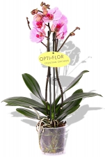 Phalaenopsis Orchidee Pink Panther