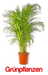 Rankpflanze snaily dischidia pectenoides urnenpflanze p425 blumenversand pflanzen shop - Zimmerpflanzen berlin ...