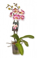 Phalaenopsis Orchidee Specialty's